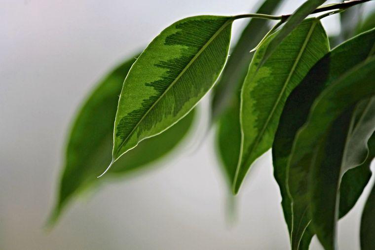 Totul despre ficus. Cum să crești un arbore sănătos!