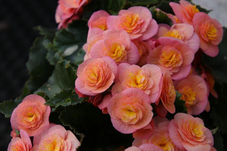 Begonia – sfaturi pentru o creștere armonioasă!