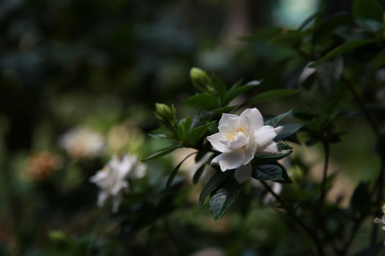 De ce are nevoie Gardenia ca să prospere?