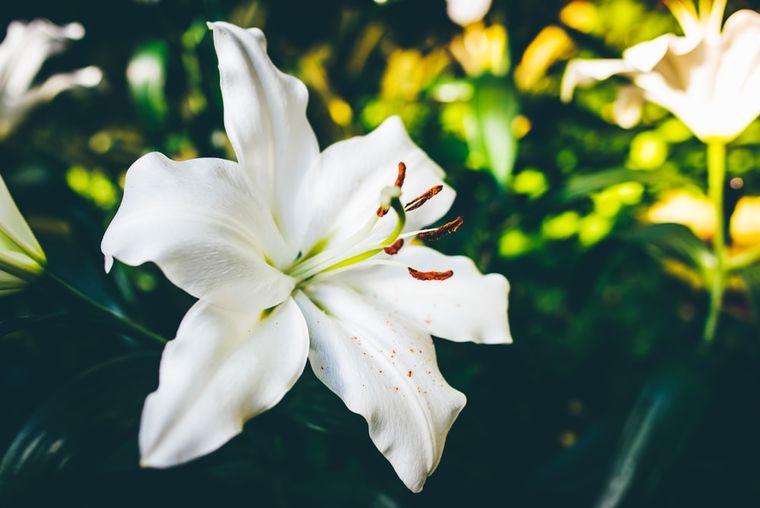 Crinul  - o floare nobilă