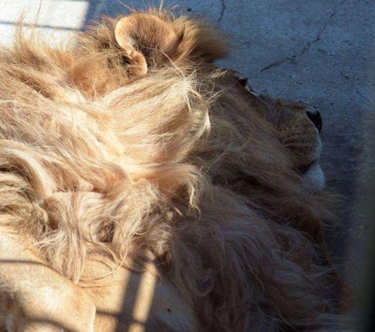 Tristeţe maximă la Grădina Zoologică din Craiova! Leul Dani, în vârstă de 17 ani a murit