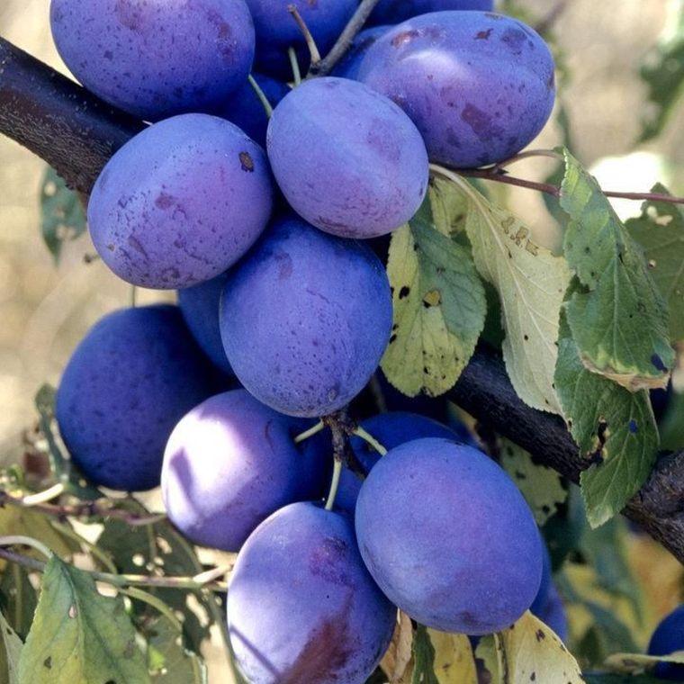 Dieta cu prune. Cum să slăbești spectaculos în numai 3 zile!