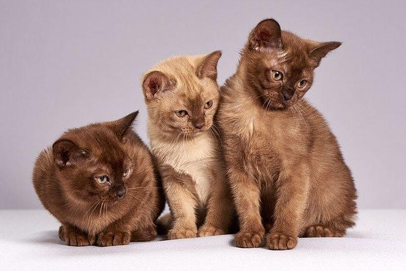 avertismentul veterinarilor, pisicile predispuse la covid, pangolin, animale de companie, coronavirus animale