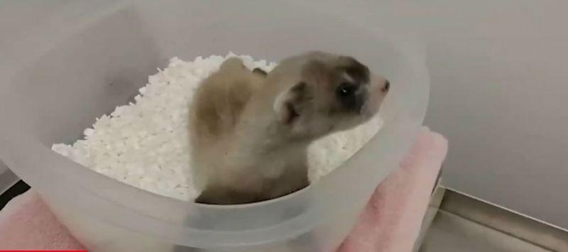 Primul animal din lume pe cale de dispariție care a fost clonat