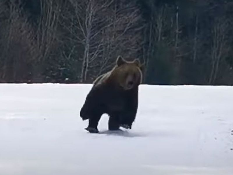 Urs pe pârtia din Predeal