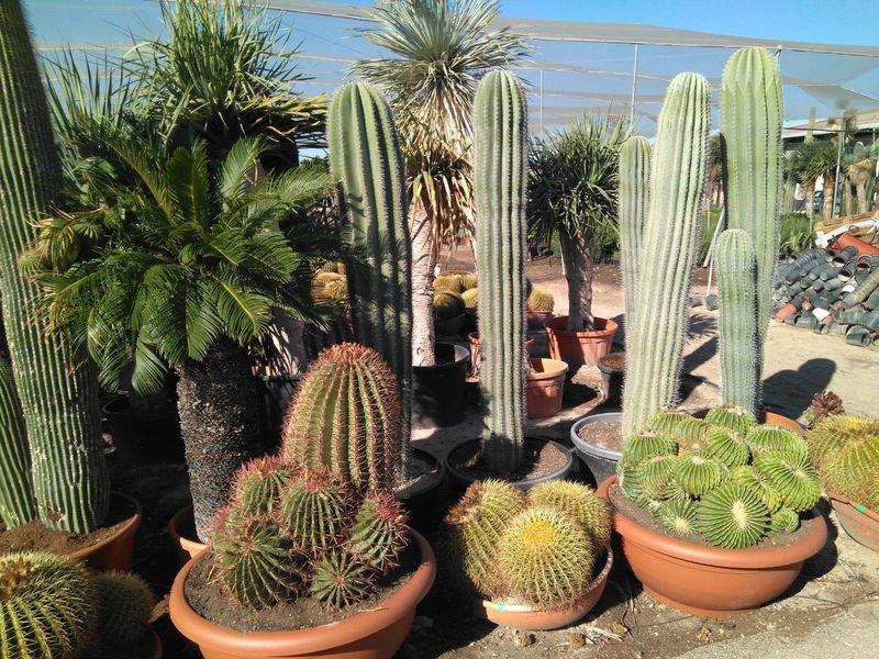 Cum să îngrijești cactusul sau crăciunița. Sfaturi de la profesioniști