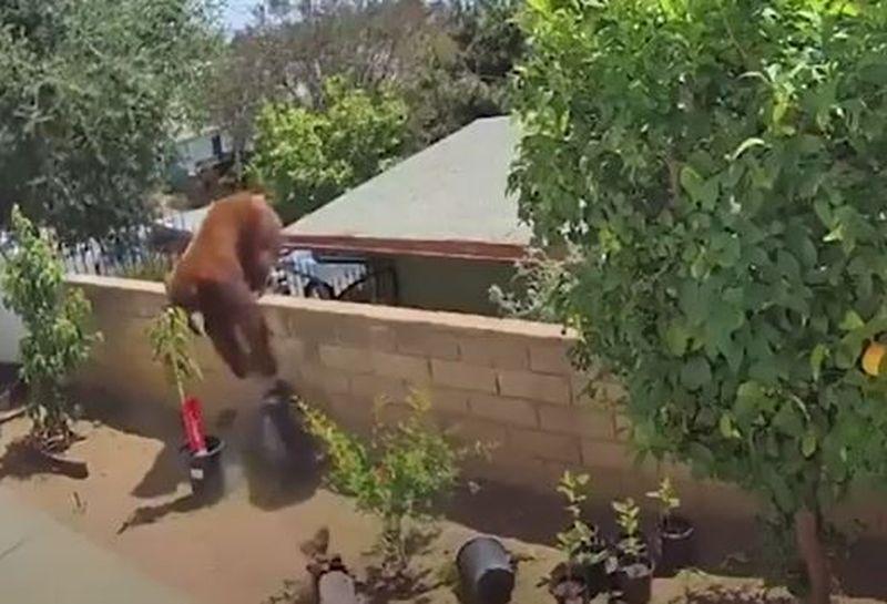 Imagini virale! O adolescentă de 17 ani, filmată în timp ce își salvează câinii din ghearele unei ursoaice, chiar în curtea casei
