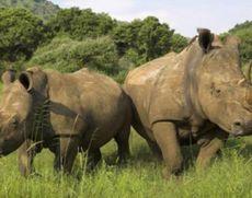 Ministrul Mediului din Africa de Sud, vesti îmbucurătoare: 'Numărul cazurilor de braconaj cu rinoceri a scăzut simțitor'