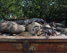 Noi focare de pestă porcină africană în Teleorman. Peste 4.000 de porci uciși până acum
